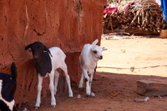 Vista de un pueblo viejo del masai con las chozas de la arcilla Niño o cabra y pobreza y miseria en Kenia imagenes de archivo