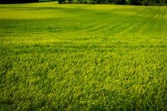 Vista de un verde del campo de trigo Foto de archivo libre de regalías