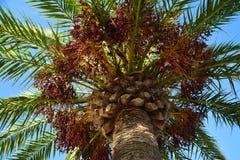 Vista de una palmera de abajo hacia arriba - de las hojas y de los manojos de fruta fotografía de archivo