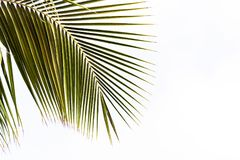Vista de una rama de la palma en un fondo blanco, Bayahibe, La Altagracia, República Dominicana Copie el espacio para el texto Imagenes de archivo