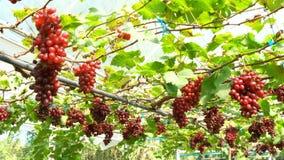 Vista de uvas sin semillas rojas en la vid en invernadero almacen de video