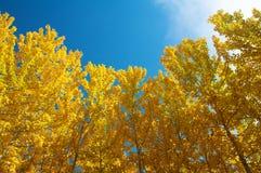 Vista degli alberi di Aspen di caduta Fotografie Stock