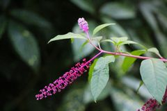 Vista dei fiori della fitolacca fotografia stock