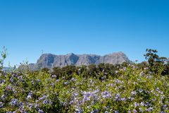 Vista dei fiori, della pianta e delle montagne presi dalla proprietà del vino di Tokara, Stellenbosch, Sudafrica, un chiaro giorn immagini stock libere da diritti