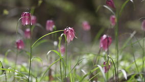 Vista dei fiori di fioritura del meleagris di fritillaria stock footage