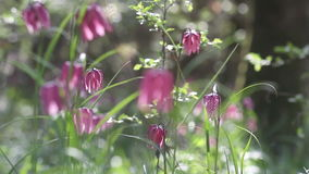 Vista dei fiori di fioritura del meleagris di fritillaria archivi video