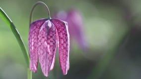 Vista dei fiori di fioritura del meleagris di fritillaria video d archivio
