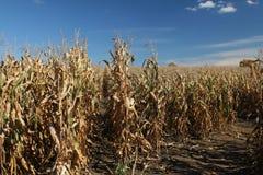 Vista dei gambi del cereale Immagine Stock Libera da Diritti