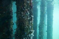 Vista dei piloni del molo coperti nei coralli e nella vita marina nell'acquario dell'oceano immagini stock