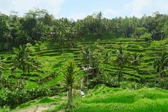 Vista dei terrazzi del riso in Ubud, Bali, Indonesia Fotografie Stock