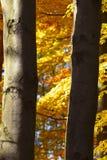 Vista dei tronchi degli alberi di faggio nella caduta fotografie stock