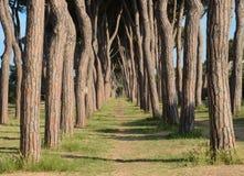 Vista dei tronchi di pino Fotografie Stock Libere da Diritti
