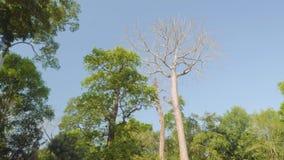 Vista del árbol seco viejo con los árboles del verde del contraste y del cielo azul en su fondo almacen de video