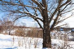 vista del abedul viejo en día de invierno soleado en pueblo Fotos de archivo