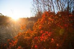 Vista del arbusto de humo Fotografía de archivo