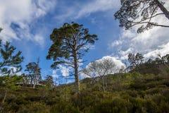 Vista del bosque caledonio postglacial en la reserva de naturaleza de Beinn Eighe cerca de Kinlochleven en las montañas de Escoci Fotos de archivo libres de regalías