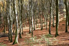 vista del bosque de la haya iluminada por el sol imágenes de archivo libres de regalías