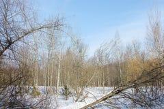 Vista del bosque del invierno en día soleado Imagen de archivo