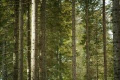 Vista del bosque verde de los árboles de pinos Imagenes de archivo