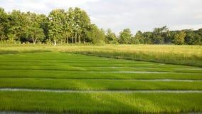 Vista del brote joven del arroz listo al crecimiento en el campo del arroz Imagenes de archivo