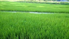 Vista del brote joven del arroz listo al crecimiento en el campo del arroz Fotos de archivo
