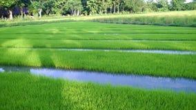 Vista del brote joven del arroz listo al crecimiento en el campo del arroz Fotografía de archivo libre de regalías