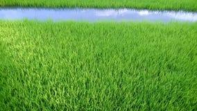 Vista del brote joven del arroz listo al crecimiento en el campo del arroz Fotos de archivo libres de regalías
