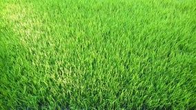 Vista del brote joven del arroz listo al crecimiento en el campo del arroz Imágenes de archivo libres de regalías