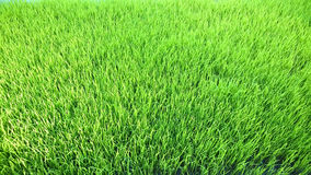 Vista del brote joven del arroz listo al crecimiento en el campo del arroz Foto de archivo libre de regalías