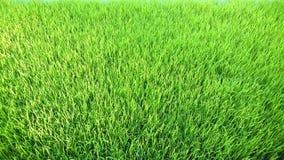 Vista del brote joven del arroz listo al crecimiento en el campo del arroz Imagen de archivo
