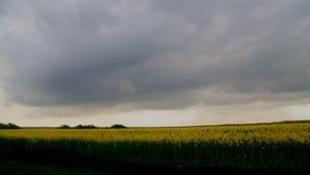 Vista del campo con il seme di ravizzone di fioritura stock footage