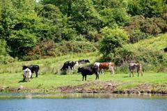 Vista del campo con la vaca. Fotografía de archivo