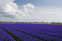 Vista del campo dei giacinti porpora scuri, Paesi Bassi Immagini Stock Libere da Diritti