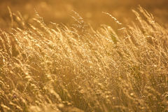 Vista del campo di erba dorato sul tramonto Immagine Stock Libera da Diritti