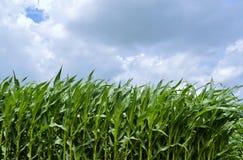 Vista del campo di grano Immagini Stock Libere da Diritti