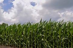 Vista del campo di grano Immagini Stock