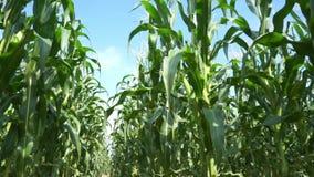 Vista del campo di mais su tempo di giorno archivi video