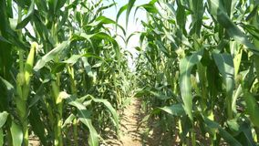 Vista del campo di mais su tempo di giorno stock footage