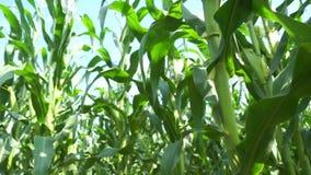 Vista del campo di mais su tempo di giorno video d archivio