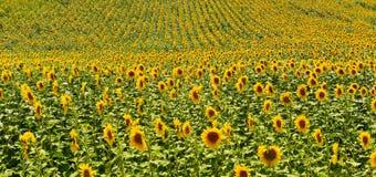 Vista del campo del girasol en alto verano imagen de archivo