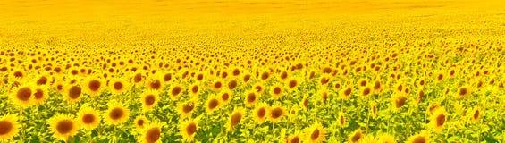 Vista del campo del girasol en campo del verano imagen de archivo libre de regalías