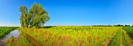 Vista del campo del girasol en campo del verano foto de archivo libre de regalías