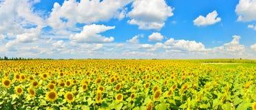 Vista del campo del girasol en campo del verano fotografía de archivo