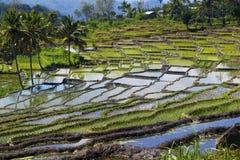 Vista del campo verde del arroz en terraza imagen de archivo libre de regalías