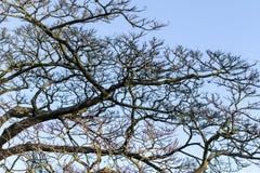Vista del cielo di inverno attraverso l'albero secco Fotografie Stock Libere da Diritti