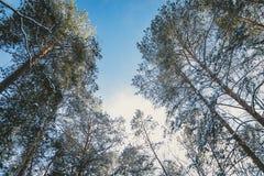 Vista del cielo in una foresta nevosa Immagini Stock