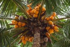Vista del cocco giallo maturo dal fondo Immagini Stock