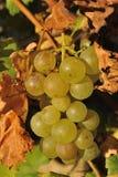 Vista del dettaglio dell'acino d'uva immagine stock libera da diritti