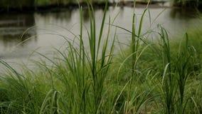 Vista del fiume con erba stock footage