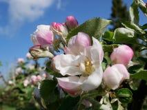 Vista del flor de la manzana Fotografía de archivo